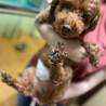 トイプードルの名犬ラッシー 里親募集中 サムネイル2