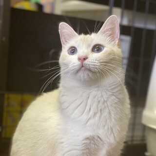 ブルーアイ、白と薄い茶色の美猫な女の子
