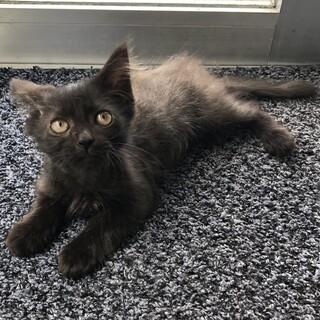 2ヶ月半ぐらいのモフモフ黒猫の女の子♀