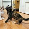 膝乗り甘えん坊サビ子猫3ヶ月、人馴れ抜群です