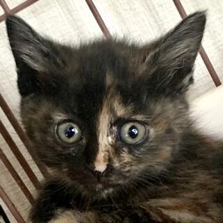 2ヶ月、子猫里親募集中。