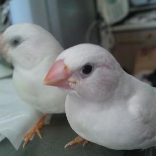 キンカチョウ 白 メス 生後2ヶ月