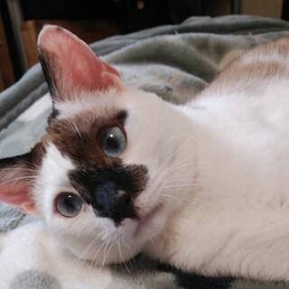 ラグドール風青い目♪タヌくん