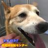 柴系のおじいちゃん犬 サムネイル2
