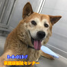 柴系のおじいちゃん犬 サムネイル4