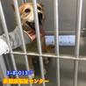柴系のおじいちゃん犬 サムネイル6