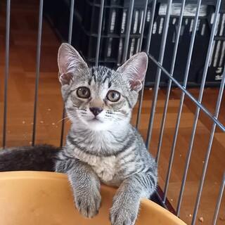 キジトラのメス猫の里親募集