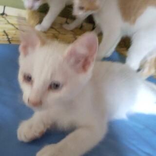 生後2ヶ月子猫。女の子2匹、男の子1匹