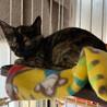 可愛いサビの子猫「ごまちゃん」