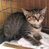 まだまだビビリの女の子です♀2ヵ月半の子猫