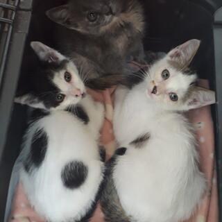 キジ白、白黒、サビの三兄妹!