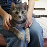 人間大好き、甘えん坊のサバトラ猫ちゃんです! サムネイル4