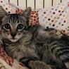 【メダル】人が大好きキジトラ子猫 サムネイル2