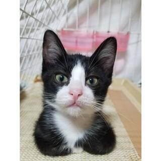 雑種のメス2ヵ月半白黒子猫ちゃん