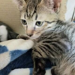 雑種のオス2カ月半キジの子猫ちゃん