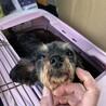 MIXの繁殖犬のお母さんでした サムネイル4
