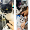 猫ちゃん3兄弟たちの里親さん募集してます。