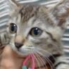 可愛い子猫 アコちゃん