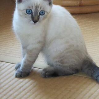 美猫ちゃんです(3か月位の女の子)の里親募集