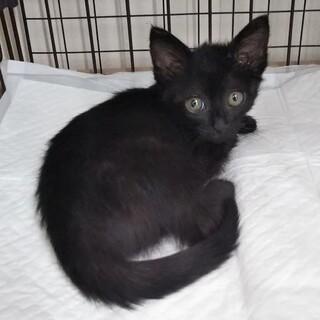 黒猫のメス2ヶ月(猫白血病治療中)