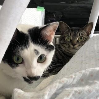 10年後戻し応相談 同母猫の時期違い仲良し兄弟です