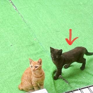 可愛い黒猫の子猫ちゃんです