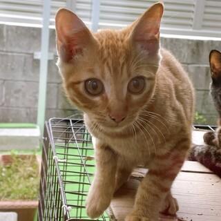 可愛い茶トラの子猫です