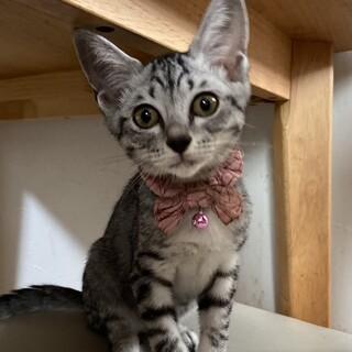 シャイなサバトラ猫みうちゃん