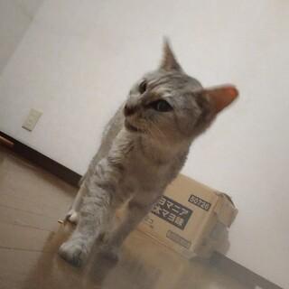 おとなしい、子猫みたいに小柄なアメショMIXちゃん