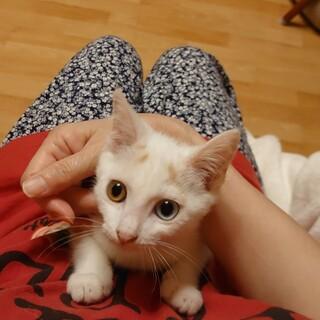 八の字眉毛でオッドアイ三毛子猫なみ子ちゃん