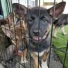 センターよりレスキューの母犬から産まれた仔犬
