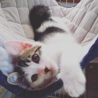 トリンドル玲奈ちゃんが保護した猫似の美人白キジ