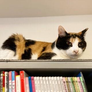 【ラック】美人な三毛猫さん