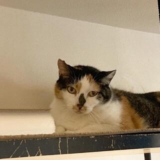 【美憂】童顔な三毛猫さん