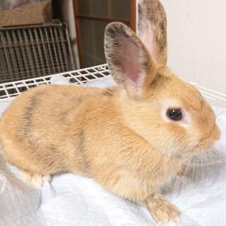3ヶ月のウサギちゃん募集