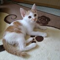 優しい茶白子猫レイくん