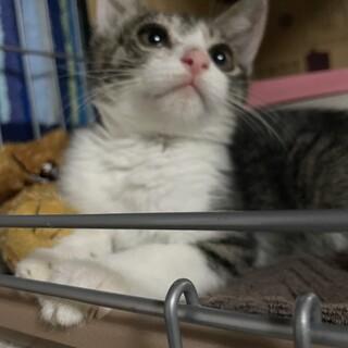 ★キジシロ★2ヶ月★メス猫ちゃん