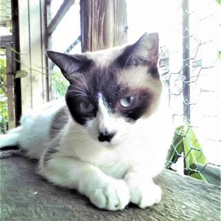 青い目のラグドール風♪サラちゃん♪2歳