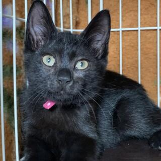 5兄妹の黒猫。オモチャ大好きマルラニちゃん♡