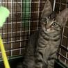 5兄妹のキジトラ猫。幸せの鍵しっぽマハロちゃん♡