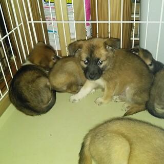1.5~2ヶ月ぐらいの子犬