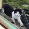 可愛いハチワレ子猫さん