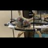 【キンカチョウ】オスメスつがいの幼鳥【里親募集】