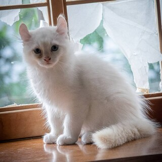 洋猫MIXの里親募集!