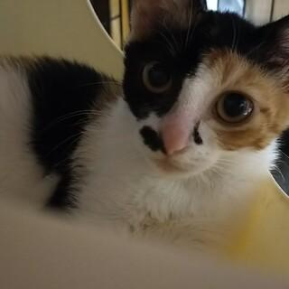 三毛猫 推定生後3ヶ月 メス 仔猫