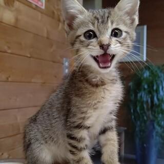 キジ猫ラウール君2ヶ月検査済