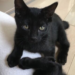 甘えん坊で元気な黒猫ボブくん男の子ー2ヶ月半