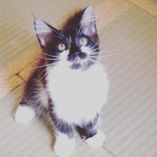 半径1m行動範囲の大人しい穏やか長毛ふさふさ黒白猫