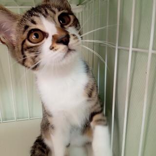 ツンデレ美猫キジ白♀3ヶ月半