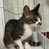 ツンデレ美猫キジ白♀3ヶ月半 サムネイル5